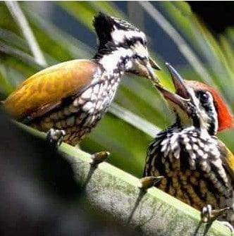 Cara-Membedakan-Burung-Pelatuk-Bawang-Jantan-dengan-Betina
